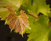 Young grape vine Stock Photography