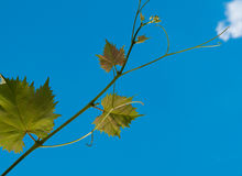 Young grape vine. Branch of young grape vine on sky background Stock Image