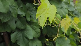 Young grape vine green leaves in the wind on a rainy day stock video footage
