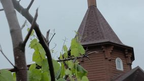 Young grape vine green leaves in the wind on a rainy day and church dome on a background stock video