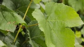 Young grape vine green leaves in the wind on a rainy day stock video