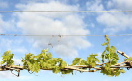 Young Grape Vine Leaves. Bright young green grape vine leaves growing from canes wrapped around wire against a blue cloudy sky Stock Images