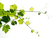 Young grape vine, lit by the sun. Young grape vine, brightly lit by the sun, isolated on a white background Royalty Free Stock Photos