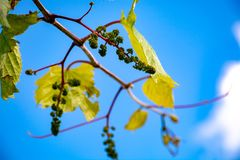 Young grape vine with small green grapes on blue sky background. One young grape vine with small green grapes on blue sky background royalty free stock photos