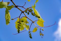 Young grape vine with small green grapes on blue sky background. One young grape vine with small green grapes on blue sky background royalty free stock images