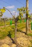 Young grape vine in a vineyard Royalty Free Stock Photography