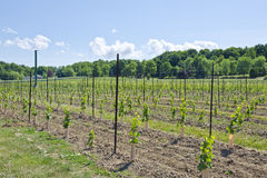 Young Grape Vines in a Vineyard #2 Royalty Free Stock Image