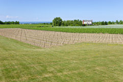 Young Grape Vines in a Vineyard #4 Stock Photos