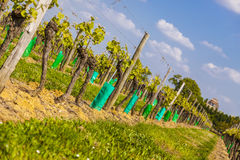 Young grape vines in a vineyard Royalty Free Stock Image