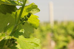 Young grape. And vineyard in Croatia royalty free stock image