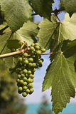Young grapes Stock Photography