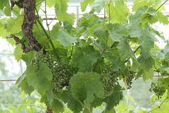 Young Grapes. stock photo