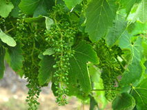 Young grapes in spring, Pyrenees area, Australia Stock Images