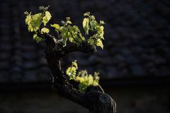 Young Grapes Royalty Free Stock Photography