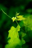 Young grapevine. Leaves in early summer, shallow DOF royalty free stock photos