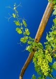Young grapevine. Branch of grapevine in early summer reaching up towards cloudless blue sky, focus is on a cluster of unripe white grapes in the lower right stock photography
