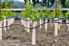 Young Grapevine recently planted stock photos
