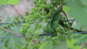 Young grapevine in wineyard. Close-up of grapevine. Wineyard at spring. Vineyard landscape. Vineyard rows at South stock video