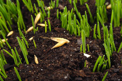 Young Grass Royalty Free Stock Images