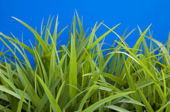 Young  grass Royalty Free Stock Photos