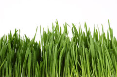 Young grass Stock Image