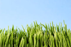 Young grass Royalty Free Stock Image