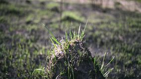 Young grass on the ashes and hummocks on the blackened ground in the field after a fire. Young grass on the ashes and hummocks on the blackened ground in the stock video footage