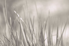 Young grass close up in grey. Background Stock Photography