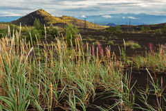 Young grass in Dead wood - consequence of a catastrophic release of ash during the eruption of volcano in 1975 Tolbachik Royalty Free Stock Photography