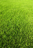 Young grass freshly cut Stock Image