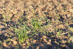 Young grass plants, close-up Royalty Free Stock Image