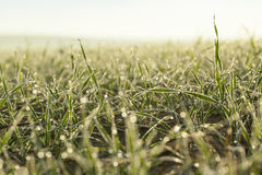 Young grass plants, close-up Stock Image