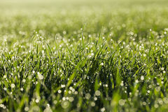 Young grass plants, close-up Stock Photo