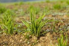 Young grass plants, close-up Stock Images