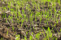 Young grass plants, close-up Royalty Free Stock Photo