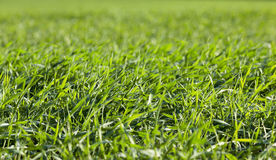 Young grass plants, close-up Stock Photos