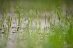 Young grass after the rain Royalty Free Stock Images