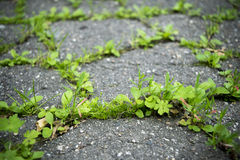 Young grass shoots through cracked tarmac Stock Photo