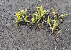 Young grass shoots through tarmac, asphalt Stock Image