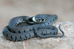 Young grass snake Royalty Free Stock Photo