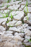 Young Grass Sprout in Cracked Mud. Royalty Free Stock Images