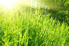Young grass and sunset Stock Photography