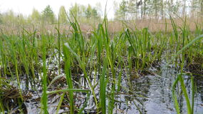 Young grass in swamp Royalty Free Stock Photo