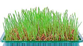 Young grass on a white background Stock Photography