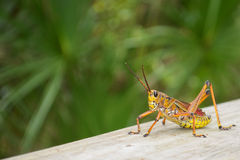 Young Grasshopper Royalty Free Stock Image