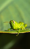 Young Grasshopper III Stock Photography