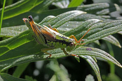 Young grasshopper on a leaf Stock Photos