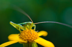 Young grasshopper sitting on the yellow flower Royalty Free Stock Image