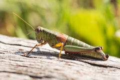 Young grasshopper  on wooden Royalty Free Stock Photos