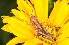 Young grasshopper on a yellow flower Stock Photo
